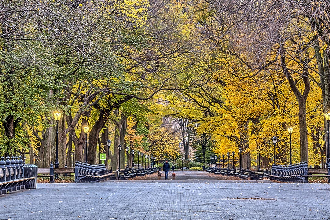 A wide pathway in Central Park bordered by trees with autumnal leaves and a man walking 2 dogs on the path.