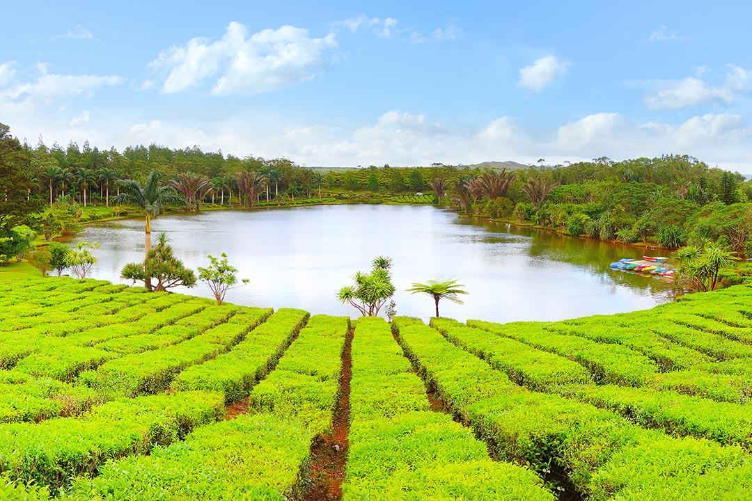 Lake in a tea plantation in Bois Cheri on Mauritius Island.