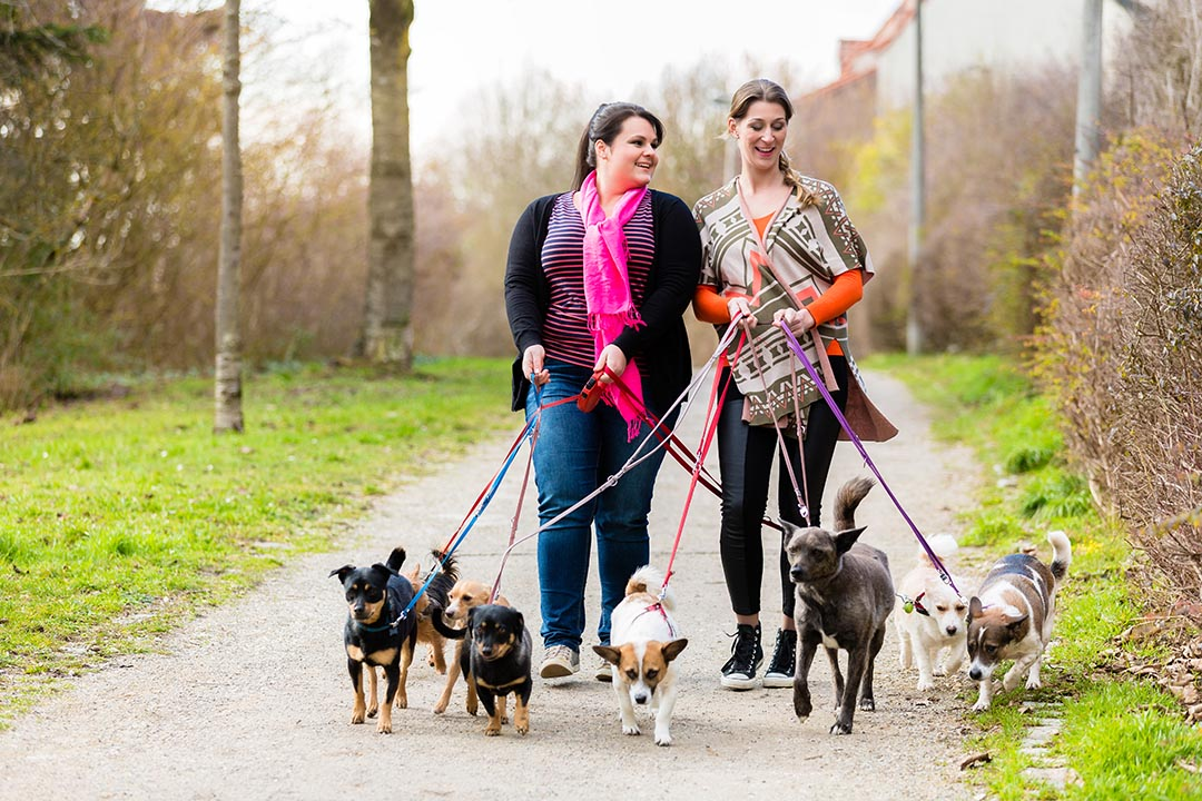 Two ladies walking a group of dogs through some woodland.