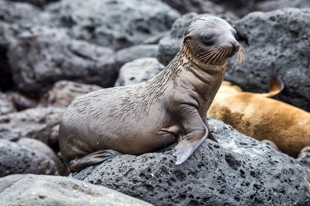 A baby sea lion perched upon a rock