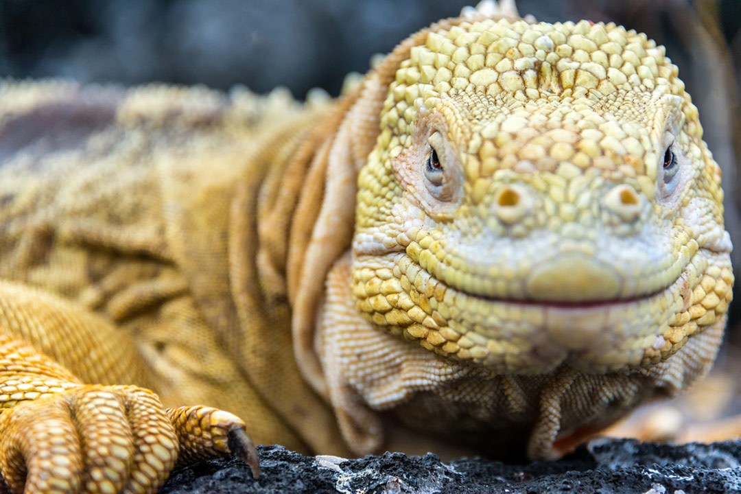 A close of of a lizard on the Galapagos