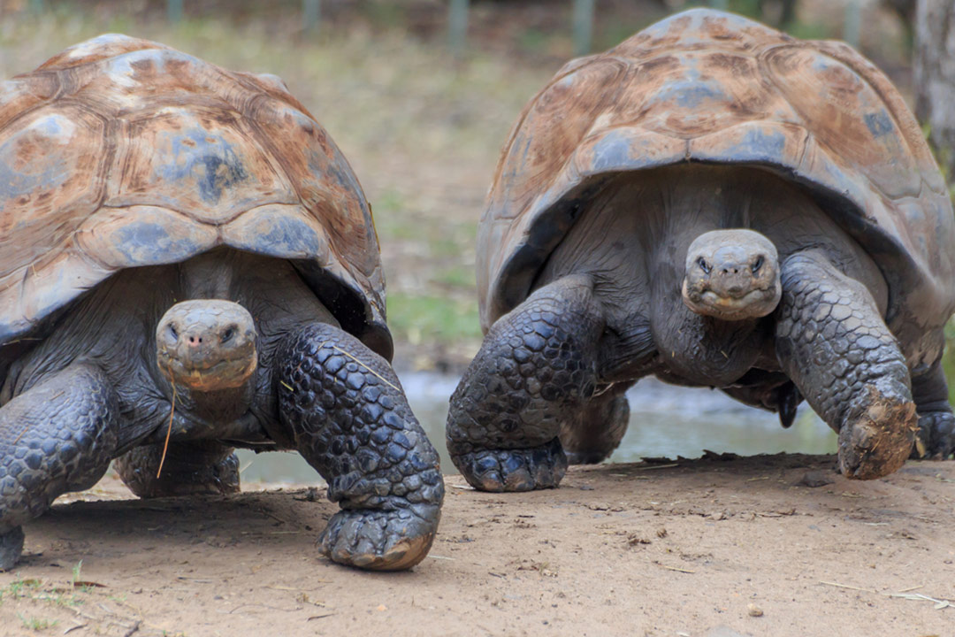 Two Giant Tortoises face towards the camera