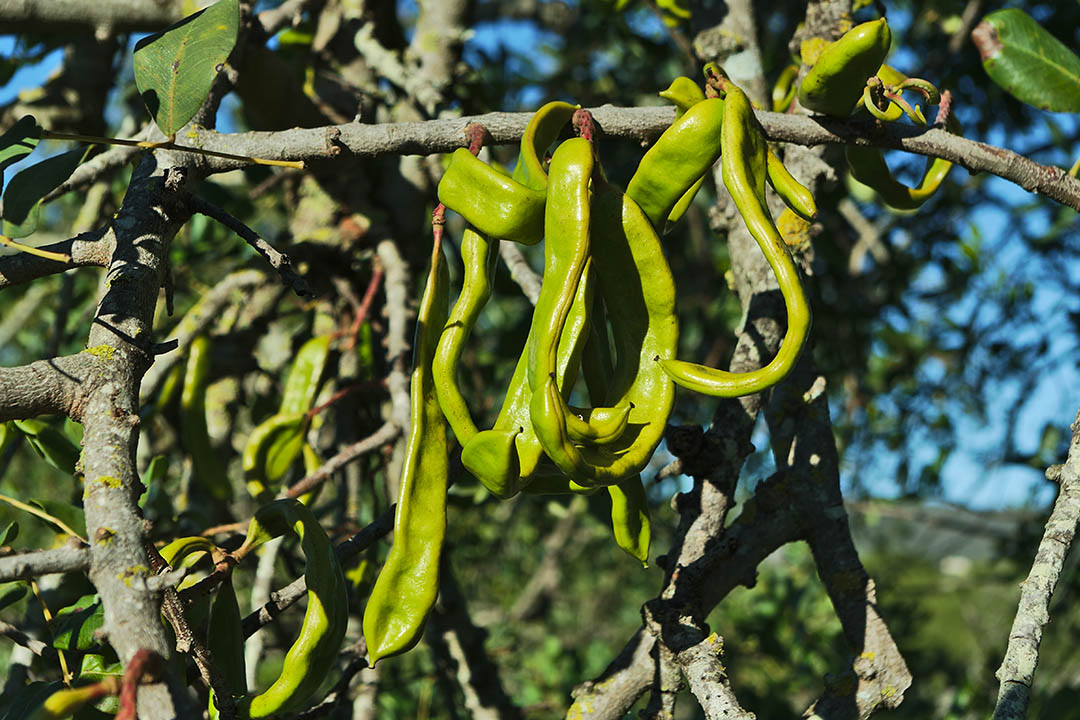 Carob tree with fruits hanging