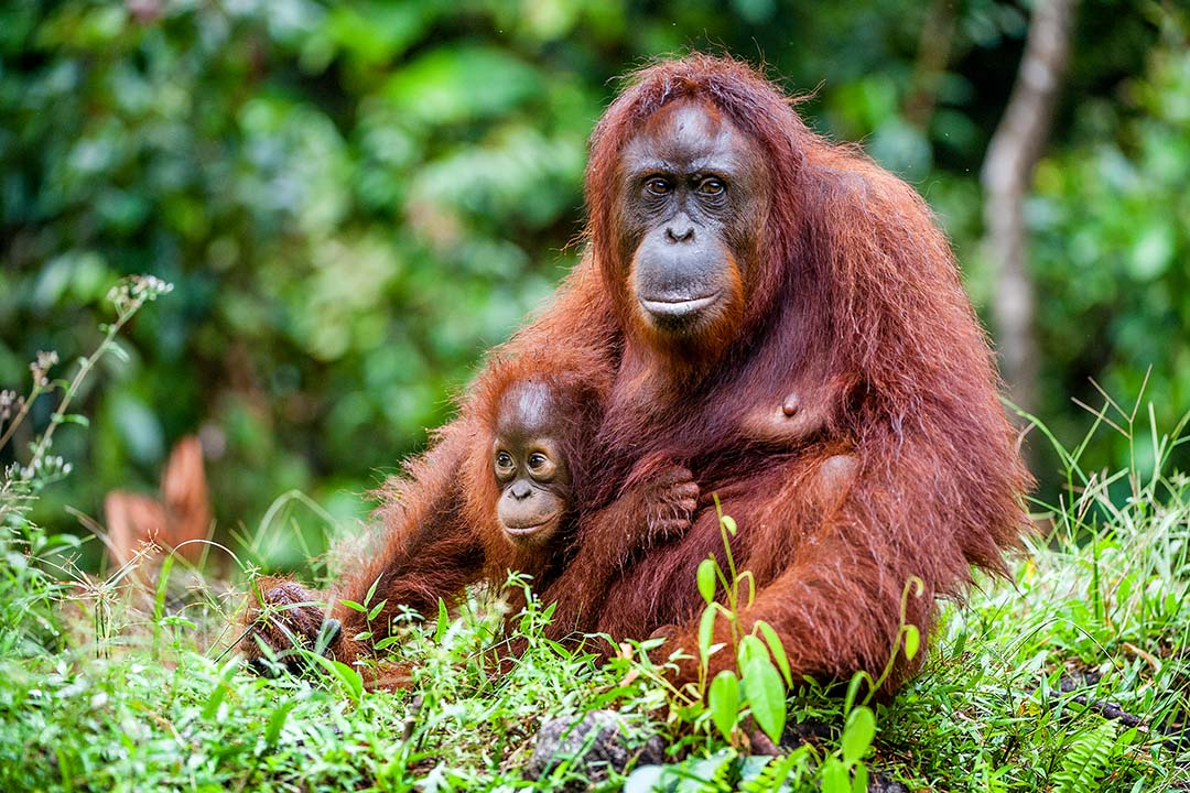 A mother orangutan sits protectively with her chimp