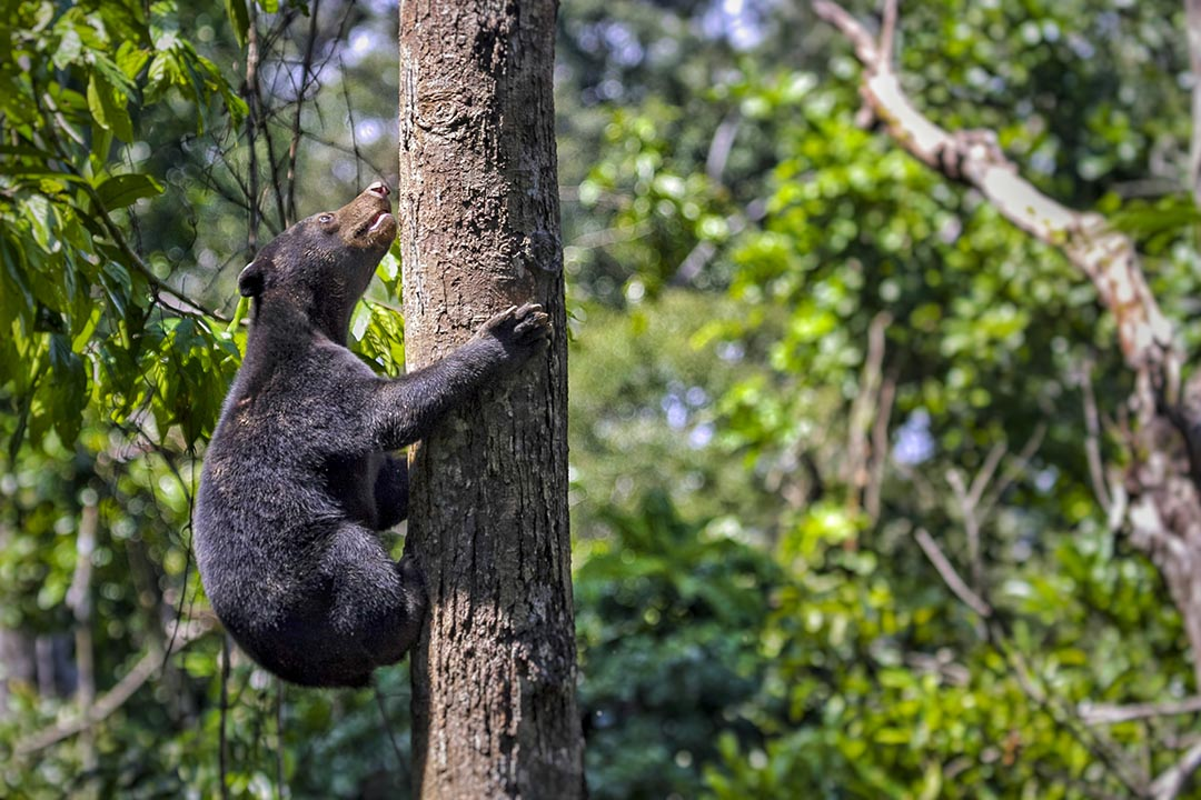the smallest bear in the world, the sun bear native to the rain forests of South east Asia, a very talented tree climber.