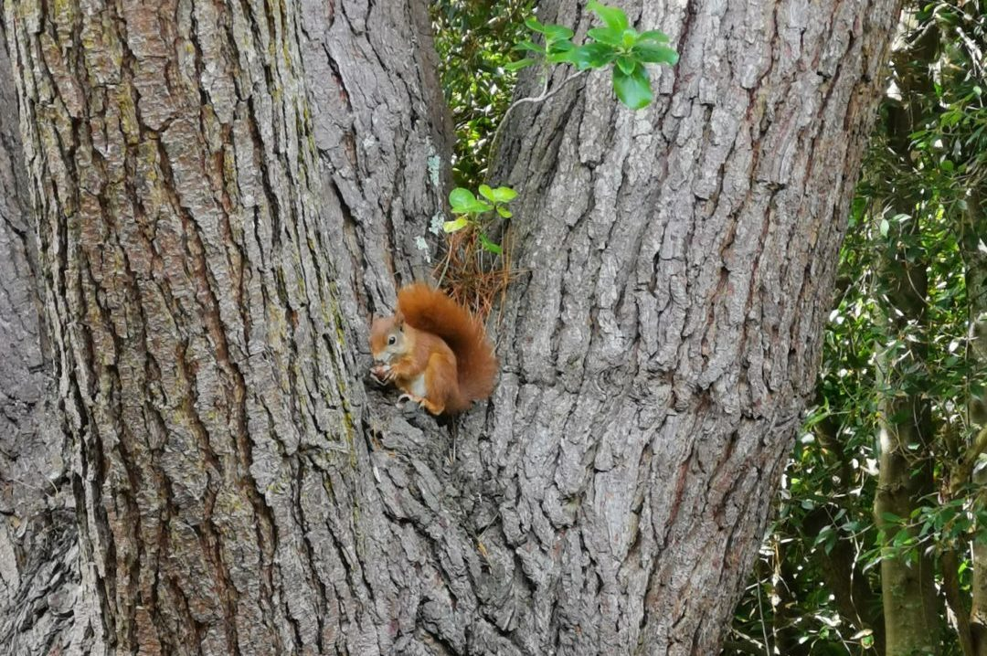 A red squirrel eating a nut in a tree in Tresco Abbey Gardens