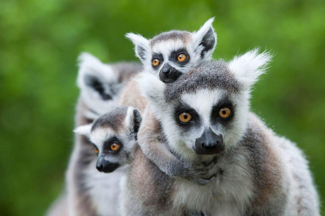 A family of lemurs cling to their mother. They have white tufted ears, grey fur and round beady eyes