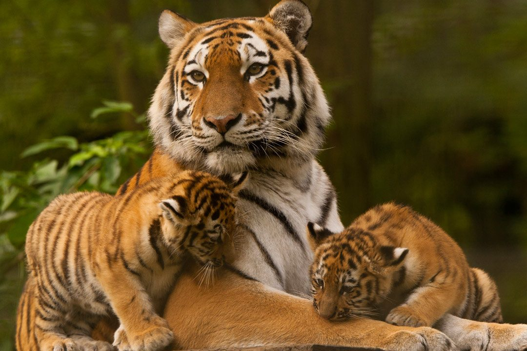 A proud tiger with 2 cubs in India