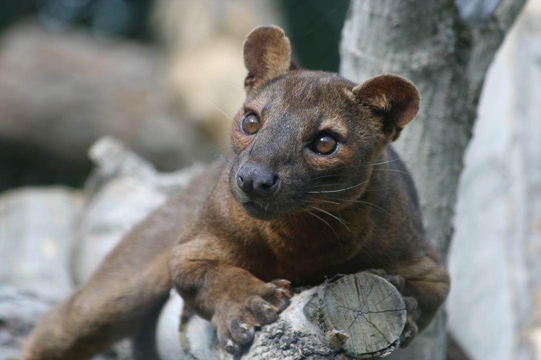 A fossa, a small cougar like creature unique to Madagascar
