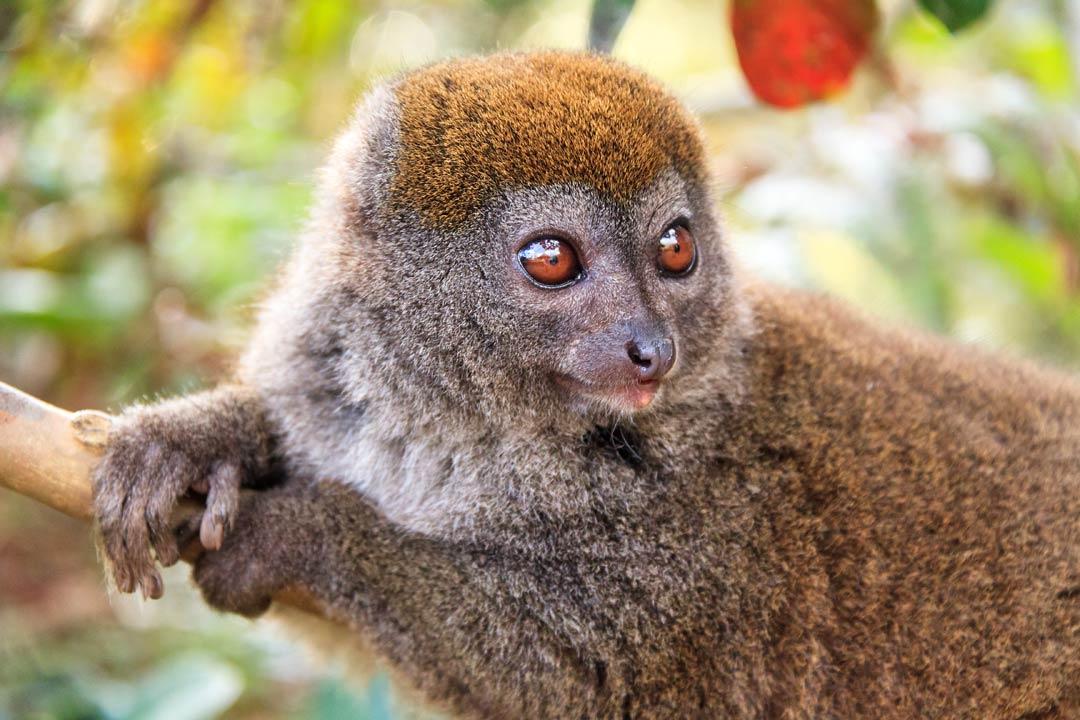 A lemur with dark brown fur and wide crystal eyes