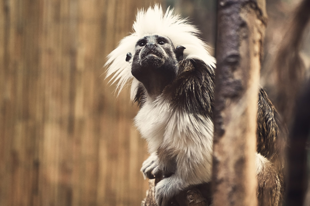 A lemur with white tufted hair clings to a tree
