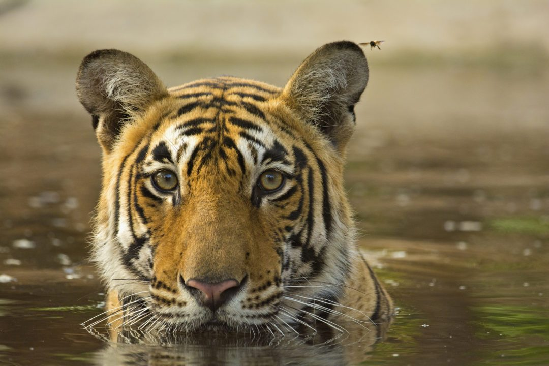 Wild tiger in a pool of water in Ranthambore tiger reserve