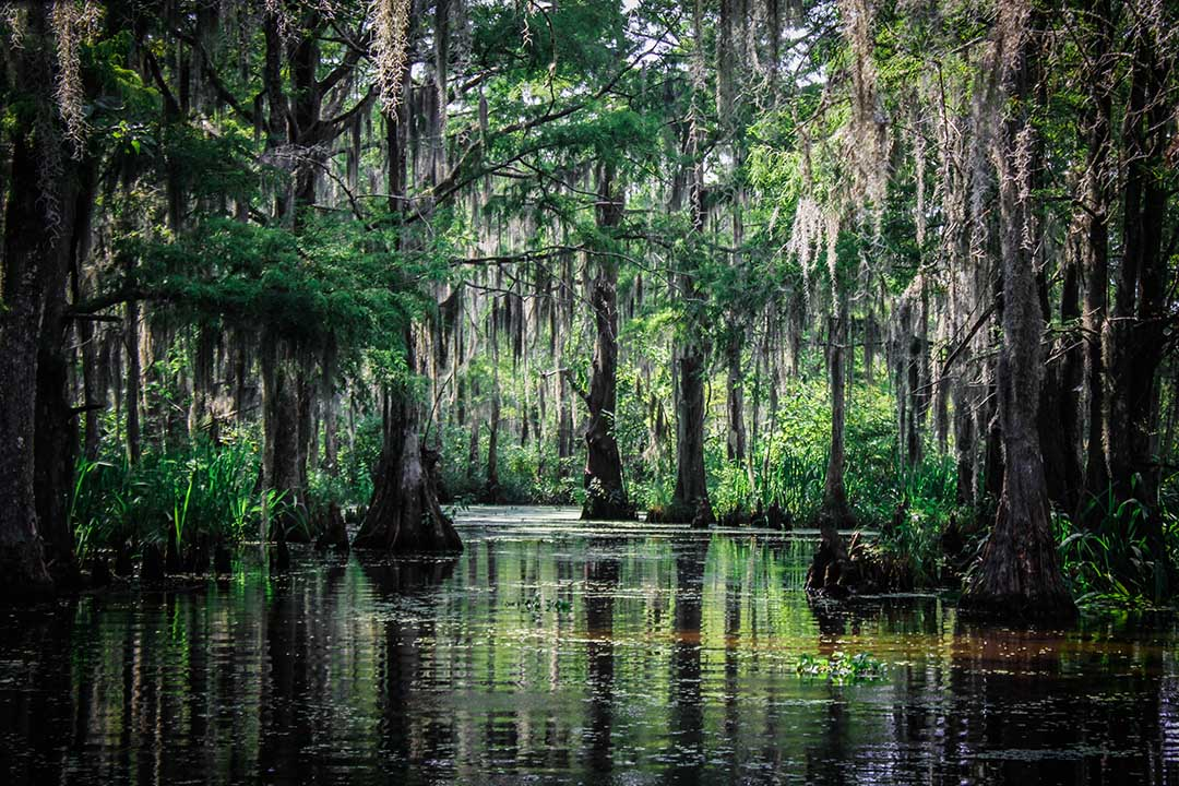 Bald Cypress Trees and other plant life native to the Louisiana Bayou swamp