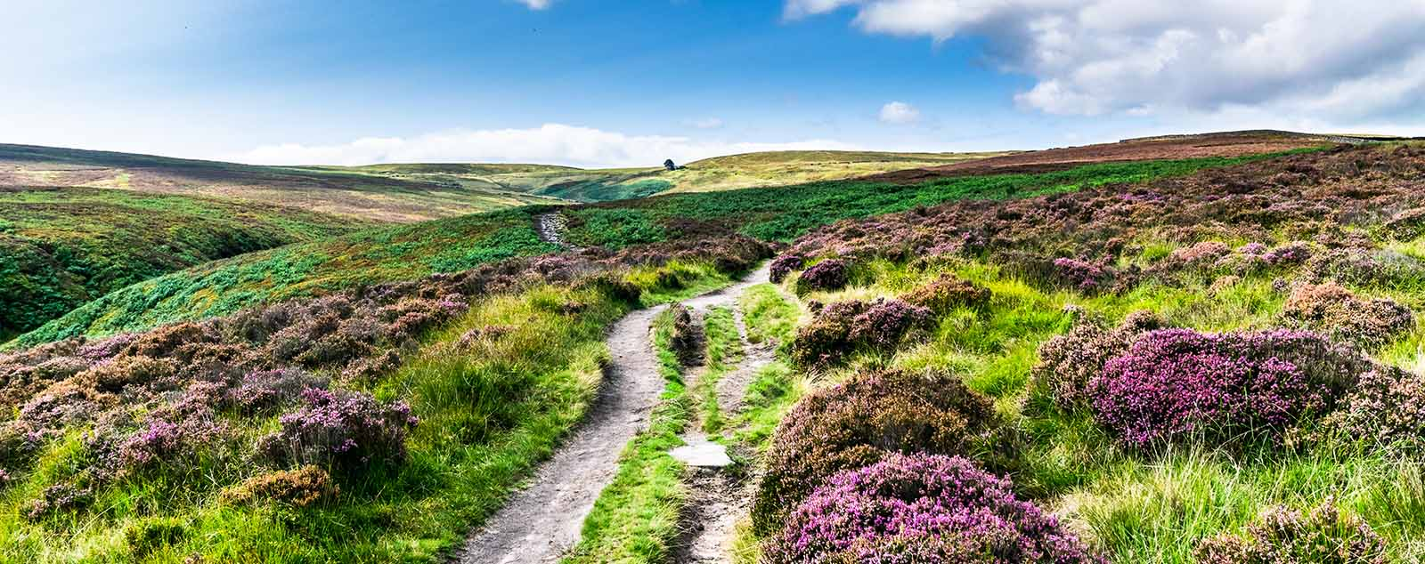 Haworth moor. A small dirt track can be seen through green moss and purple heather